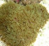 Клавулярия (Clavularia sp.)