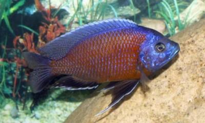 """Копадихромис """"Каданго"""" (Copadichromis sp. """"Kadango"""")"""