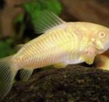 Коридорас крапчатый (альбинос) (Corydoras paleatus var.)