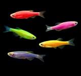 """Данио рерио флуоресцентная (Glo Fish) (Danio rerio var. """"Glo Fish"""""""