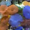 Дискоактинии разные (Corallimorpharia Gen. sp.)