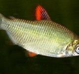 Дистиход красноплавничный (Distichodus affinis)