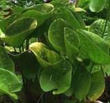 Эхинодорус Бертеро (Echinodorus berteroi)