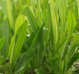 Эхинодорус уругвайский (Э. Горемана) (Echinodorus horemani green)