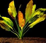 Эхинодорус озирис (Echinodorus osiris или Echinodorus rubra)