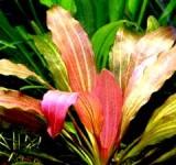 Эхинодорус Розе (Echinodorus «Rose»)