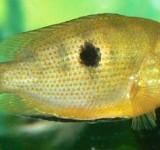 Этроплюс пятнистый (Etroplus maculatus var.)