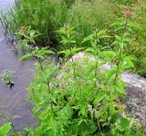 Посконник коноплевый (Eupatorium cannabinus)