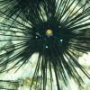 Еж черный оранжевоглазый длинноигловый (Diadema setosum)