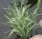 Двукисточник тростниковый, Фалярис, пестролистный (Phalaroides arundinacea) (контейнер или корневище)