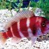 """Фронтоза """"Красная"""" (Cyphotilapia frontosa var. """"Red"""")"""