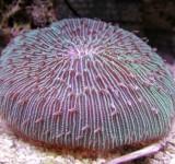 Фунгия (Коралл грибовидный) (Fungia sp.)