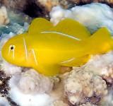 Гобиодон лимонный (Gobiodon citrinus)