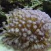 Гониопора (Goniopora sp.)