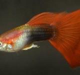 Гуппи красно-черный (Poecilia reticulata var.)
