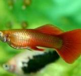 Гуппи красно-золотистый (Poecilia reticulata var.)