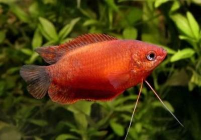 Гурами медовый красный (Trichogaster chuna)