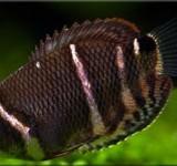 Гурами шоколадный (Spaerichthys osphromenoides)