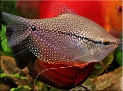 Гурами жемчужный (Trichogaster leeri)