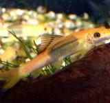Гиринохейл сиамский двуцветный (Gyrinocheilus aymonieri)