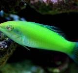Тамарин зеленый (Halichoeres chloropterus)