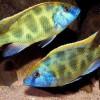 Хаплохромис венустус (Haplochromis venustus)