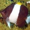 Бабочка гемитаурихт трехцветный (щетинкозубый) (Hemitaurichthys zoster)