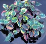 Хауттюйния сердцевидная 'Chameleon' (Houttuynia cordata) (контейнер 0,5-1л)