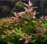"""Гигрофила многосемянная """"Ярко-розовый"""" (Hygrophila polysperma """"Rosanervig"""")"""