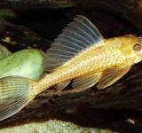 Плекостомус золотой (Hypostomus plecostomus var.)