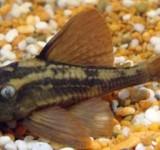 Гипанциструс красноплавничный L137 (Hypostomus soniae)