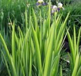Ирис болотный f.Variegata, ф. пестролистная (Iris pseudacorus 'Variegata') (контейнер 2л или корневище)
