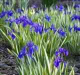 Ирис гладкий (Iris laevigata), f.Variegata, ф. пестролистная (контейнер 2л или корневище)