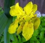Ирис болотный Flore Pleno, ф. махровая (Iris pseudacorus Flore Pleno) (контейнер 2л или корневище)