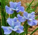 Ирис разноцветный 'Gerald Derby' (Iris versicolor) (контейнер 2л или корневище)