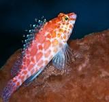 Кудрепер краснопятнистый (Cirrhitichthys aprinus)