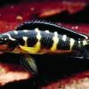 Юлидохромис транскриптус - масковый (Julidochromis transcriptus)