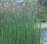 """Камыш озерный """"Albescens"""" (Scirpus lacustris, Shoenoplectus lacustris) (контейнер 1-2л)"""