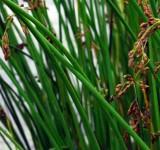 Камыш озерный (Scirpus lacustris, Shoenoplectus lacustris) (контейнер 2-3л)