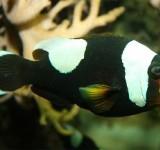 Клоун крупнополосый (полимнус) (Amphiprion polymnus)