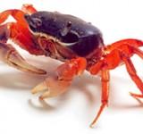 Краб пресноводный сине-красный (Cardisoma armatum)