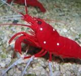 Креветка-доктор кардинал, Лисмата кровавая (Lysmata debelius)