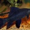 Лабео черный (Labeo chrysophekadion)