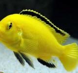 Лабидохромис церулиус жедтый (Labidochromis caeruleus)
