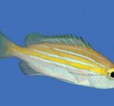 Луциан кашмирский (желто-синий) (Lutjanus kasmira)