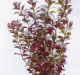 Людвигия красная (Red Ludvigia) 46 см, растение пластиковое TetraPlantastics®