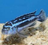 Меланохромис майнгано (Melanochromis cyaneorhabdos)