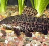 Торакатум (Megalechis thoracata)