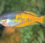 Меланотения Паркинсона - желтая форма (Melanotaenia parkinsoni var.)
