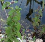 Мята водная, мята водяная (Mentha aquatica) (контейнер или корневище)